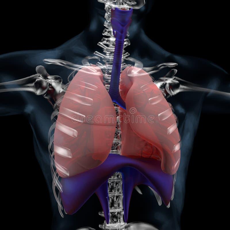 Sistema respiratório, pulmões e diafragma do homem ilustração do vetor