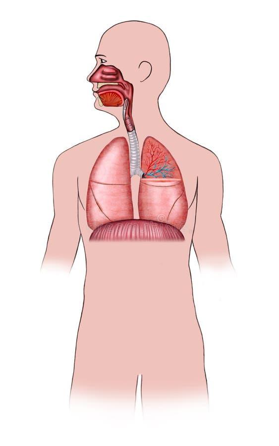 Sistema respiratorio ilustración del vector