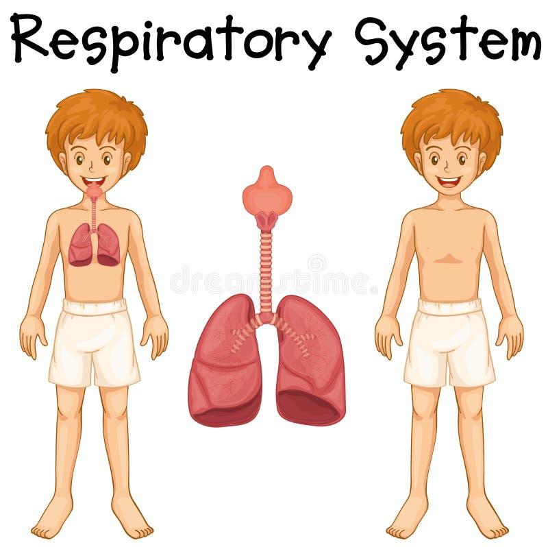 Sistema Respiratorio En Muchacho Ilustración del Vector ...