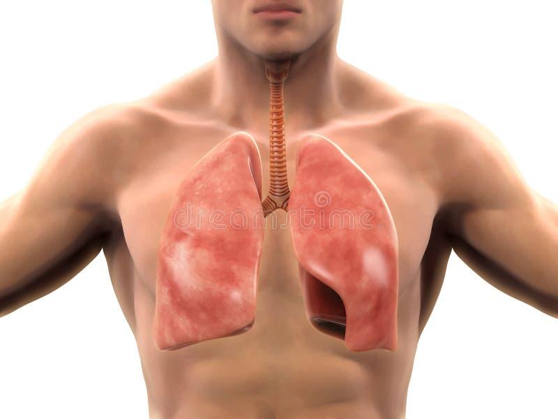 Sistema respiratorio humano libre illustration
