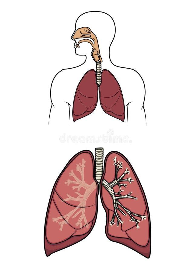 Sistema respitory humano adentro   ilustración del vector