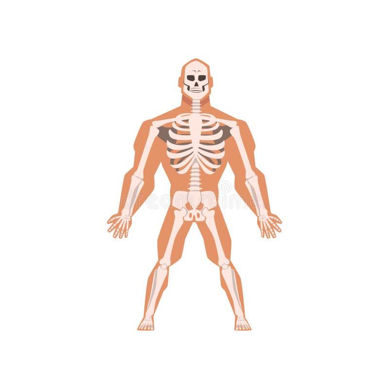 Sistema scheletrico biologico umano, anatomia dell'illustrazione di vettore del corpo umano su un fondo bianco illustrazione di stock