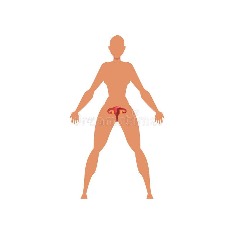 Sistema sessuale biologico femminile, anatomia dell'illustrazione di vettore del corpo umano su un fondo bianco illustrazione di stock