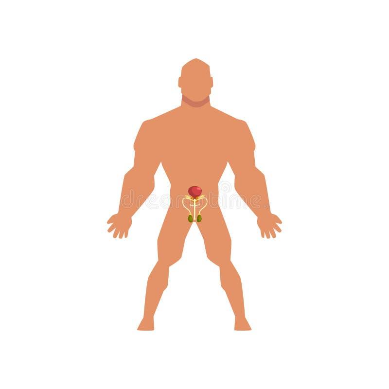 Sistema sessuale biologico maschio, anatomia dell'illustrazione di vettore del corpo umano su un fondo bianco illustrazione vettoriale