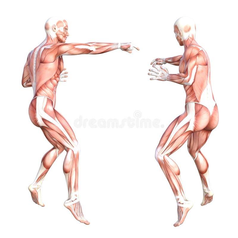 Sistema sin piel del sistema de músculo del cuerpo humano de Hhealthy ilustración del vector