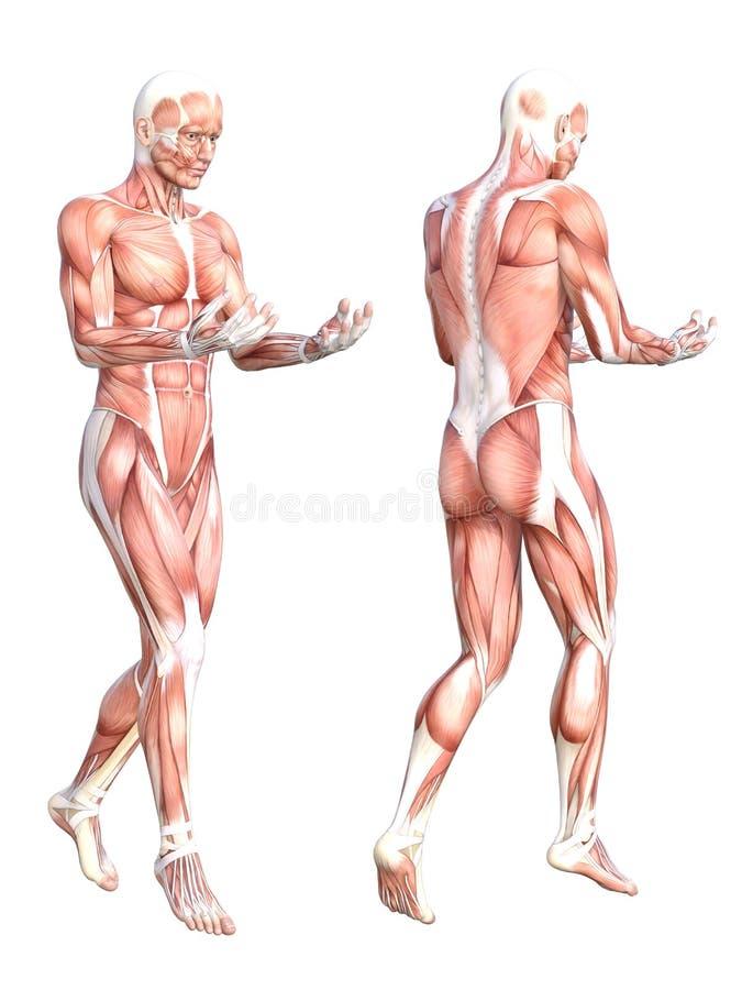 Sistema Sin Piel Sano Del Sistema De Músculo Del Cuerpo Humano Stock ...