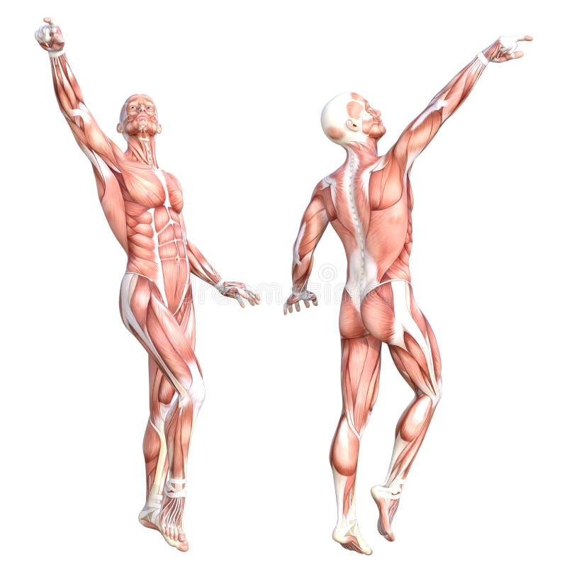 Sistema sin piel sano del sistema de músculo del cuerpo humano de la anatomía Hombre adulto joven atlético que presenta para la e stock de ilustración