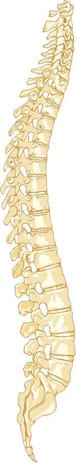 Sistema umano della spina dorsale di anatomia illustrazione di stock