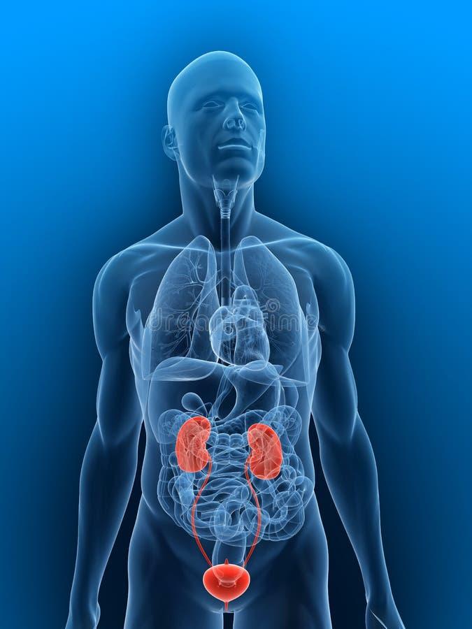 Sistema urinário destacado ilustração stock