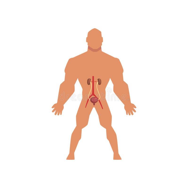 Estrutura E Função Do Sistema Urinário Ilustração Do Vetor