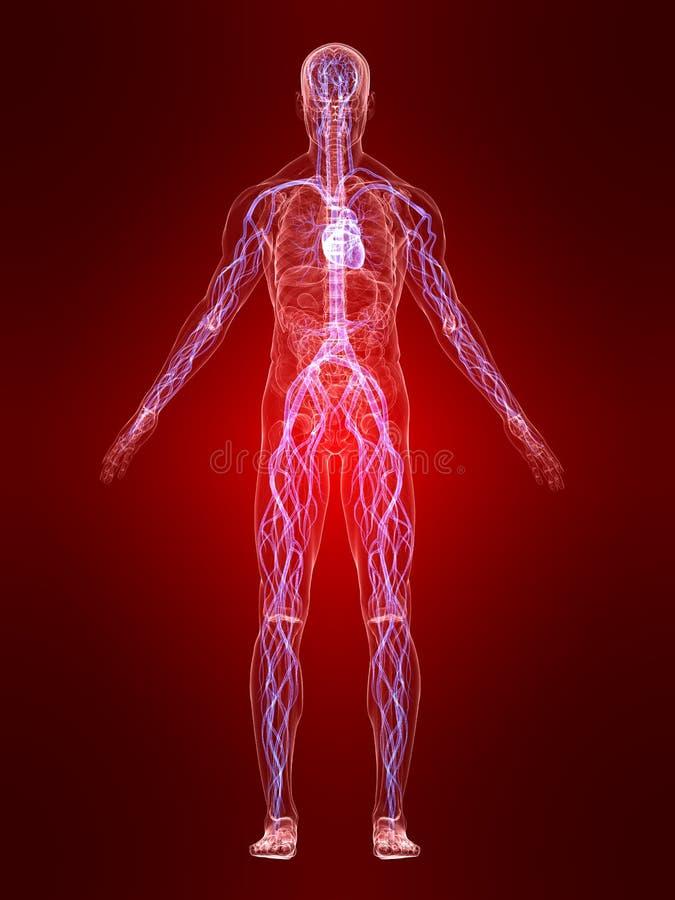 Sistema vascolare evidenziato illustrazione vettoriale