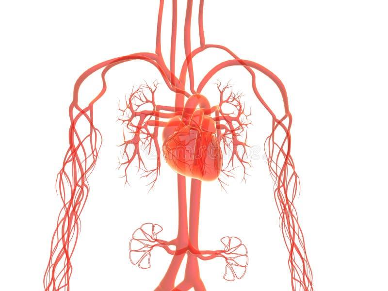 Sistema vascular stock de ilustración. Ilustración de sangre - 14138407