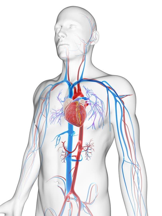 Sistema vascular stock de ilustración. Ilustración de vascular ...