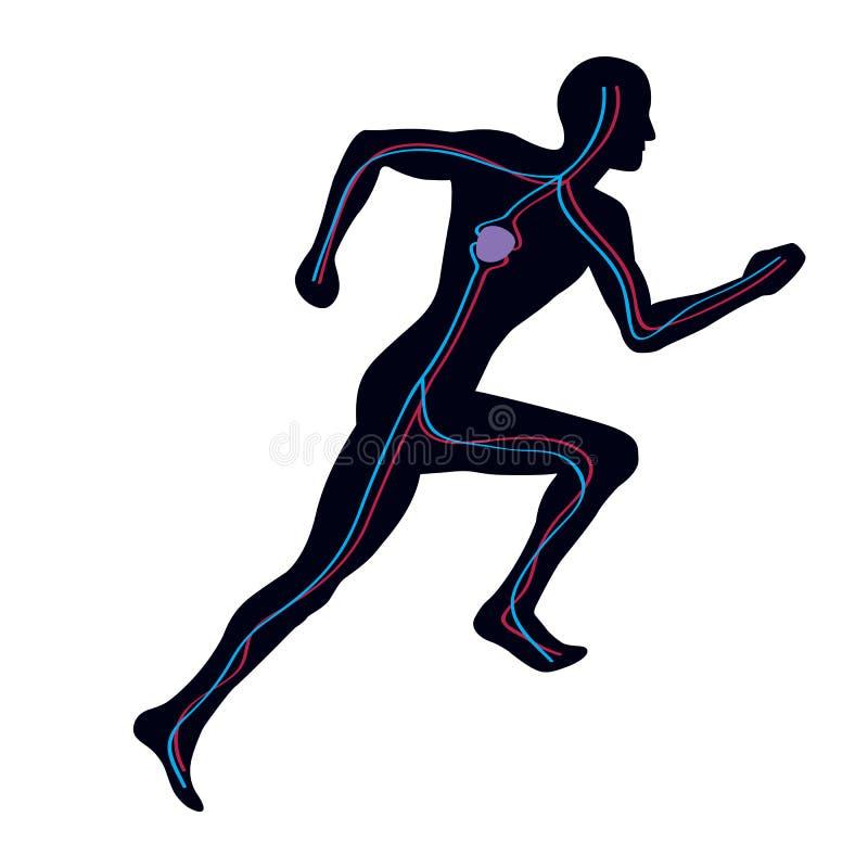 Sistema vascular ilustración del vector