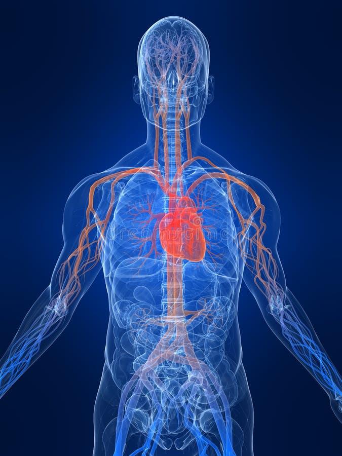 Sistema vascular stock de ilustración. Ilustración de anatómico ...