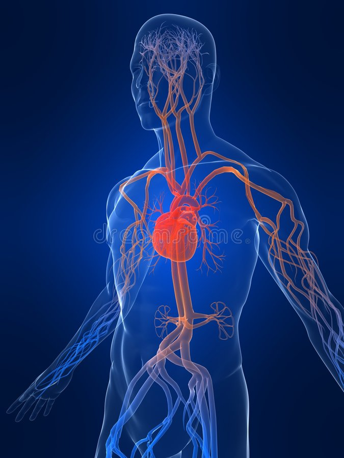 Sistema vascular ilustração do vetor
