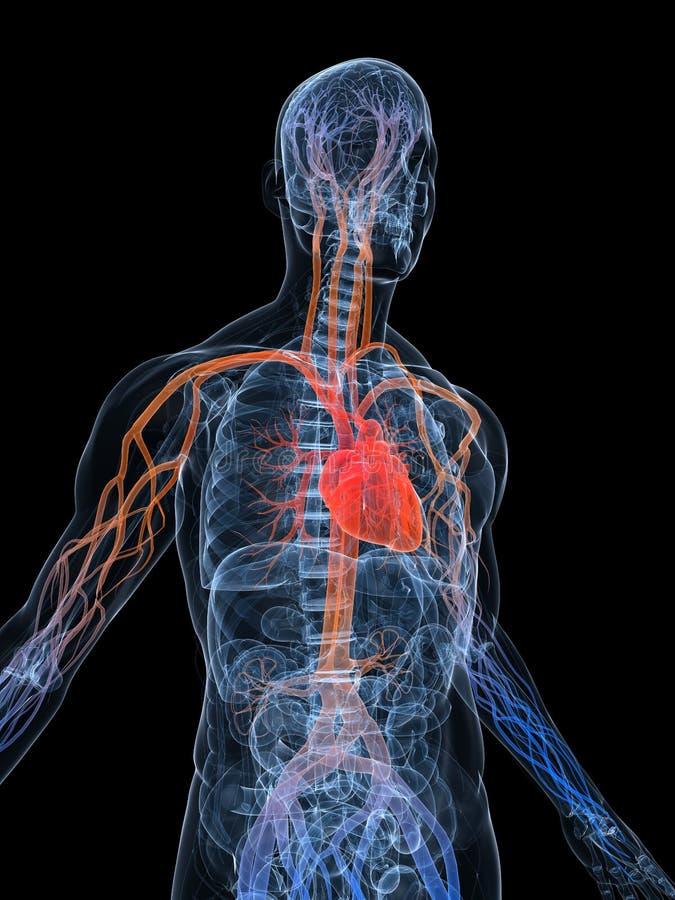 Sistema vascular stock de ilustración