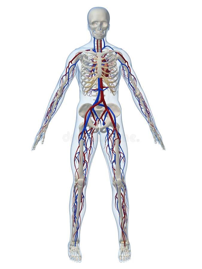 Sistema Vascular Fotos de archivo