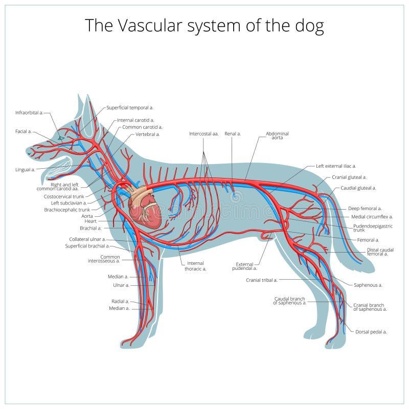 Sistema vascular da ilustração do vetor do cão ilustração stock