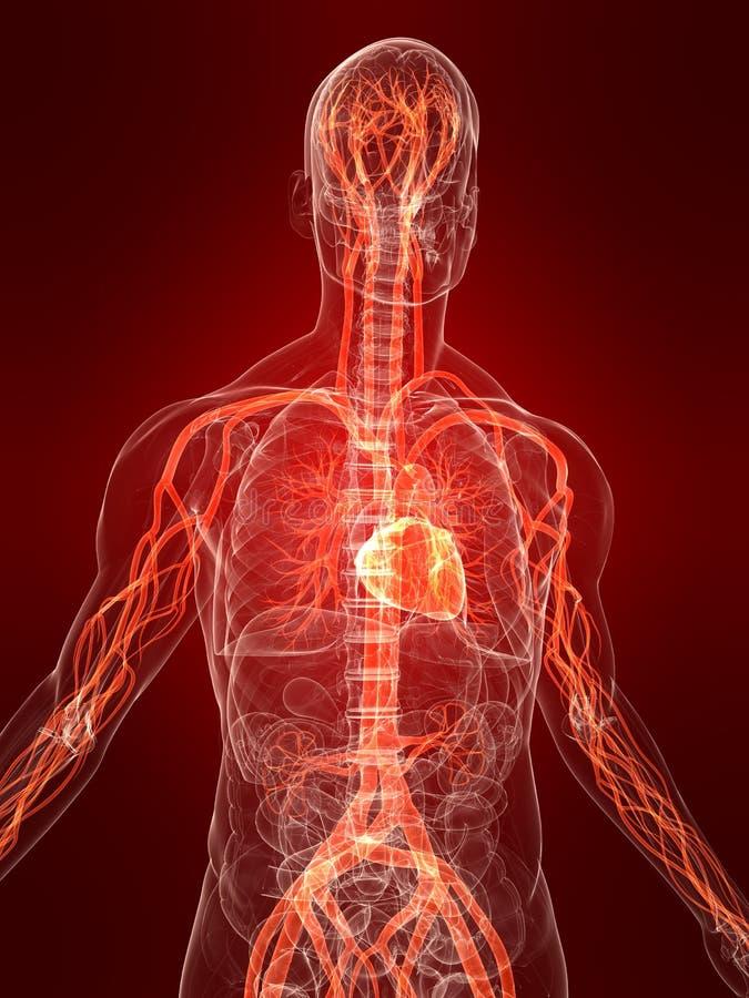 Sistema vascular destacado ilustración del vector