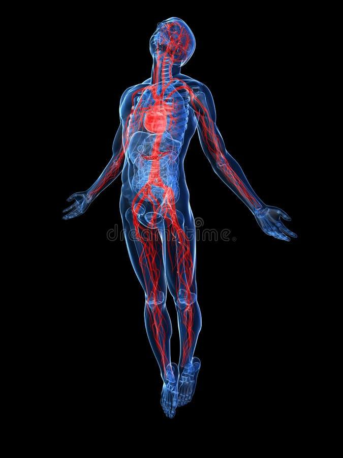 Sistema vascular humano ilustração do vetor