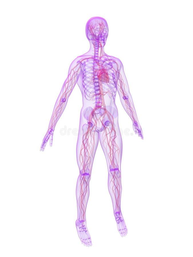 Sistema Vascular Humano Foto de archivo libre de regalías