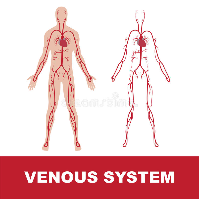 Sistema venoso ilustração royalty free