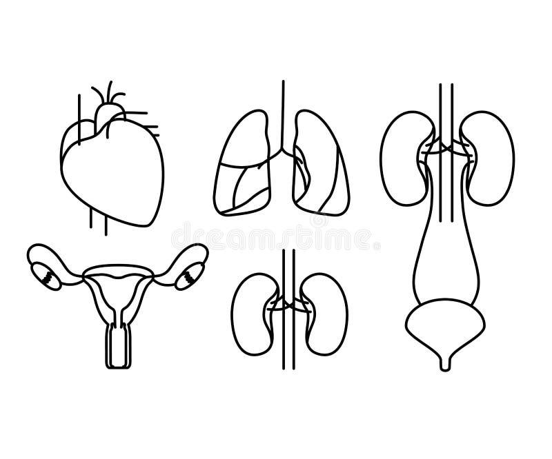 Sistemas ajustados do corpo humano da silhueta ilustração do vetor