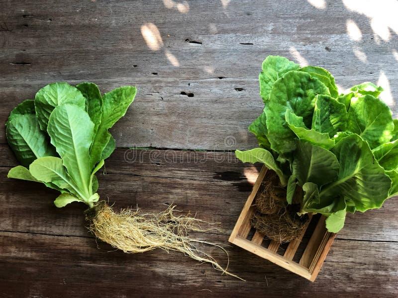 Sistemas del hidrocultivo; Cos Romaine Lettuce orgánico en la tabla de madera con la luz natural fotografía de archivo libre de regalías