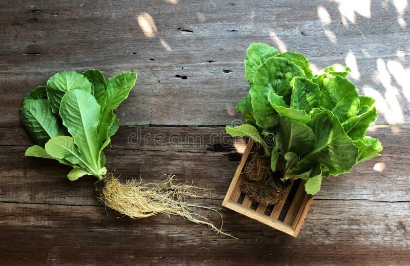 Sistemas del hidrocultivo; Cos Romaine Lettuce orgánico en la tabla de madera con la luz natural fotografía de archivo