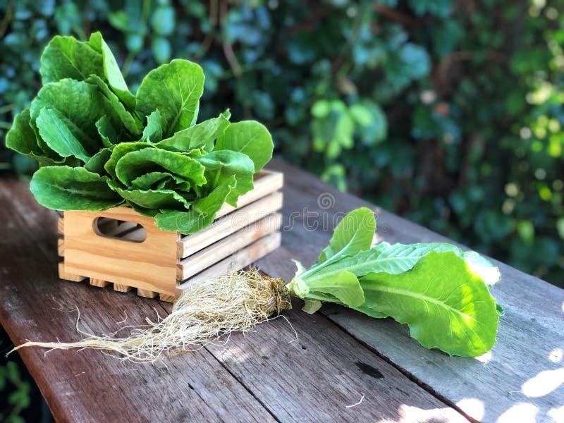 Sistemas del hidrocultivo; Cos Romaine Lettuce orgánico en la tabla de madera con la luz natural imágenes de archivo libres de regalías