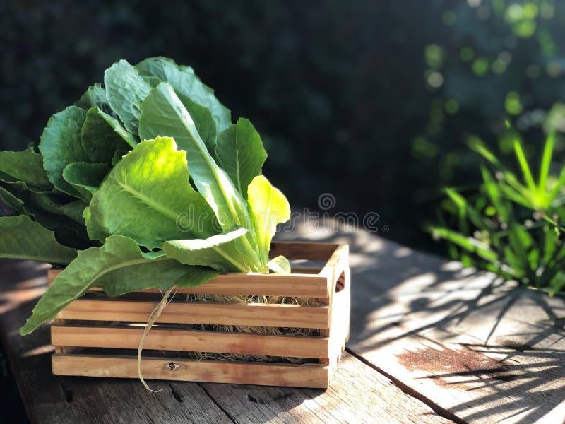 Sistemas del hidrocultivo; Cos Romaine Lettuce orgánico en la tabla de madera con la luz natural foto de archivo