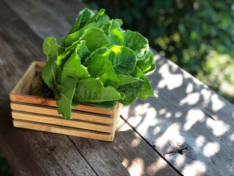 Sistemas del hidrocultivo; Cos Romaine Lettuce orgánico en la tabla de madera con la luz natural fotos de archivo