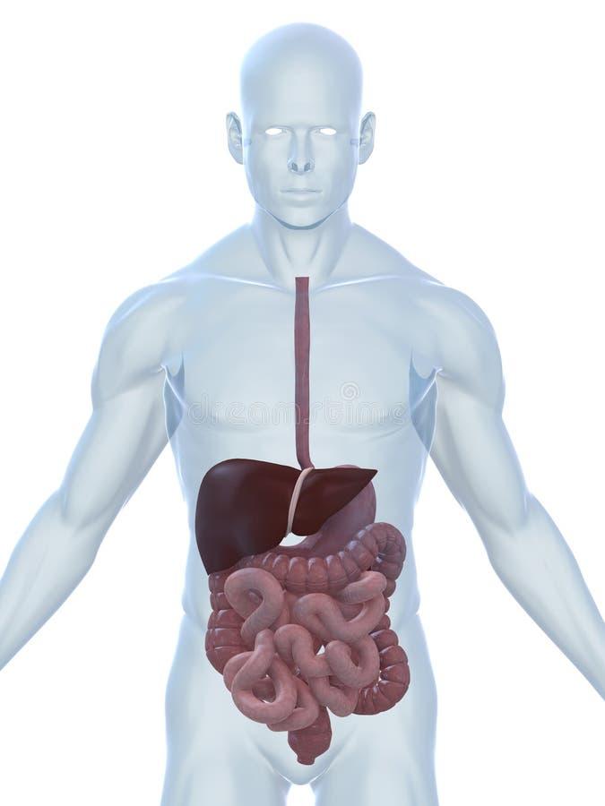 Sistemas digestivos libre illustration