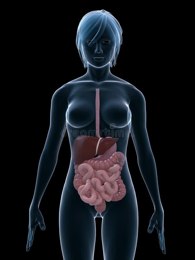 Sistemas digestivos stock de ilustración