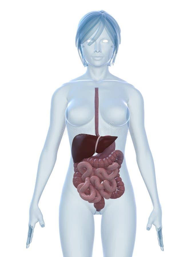 Sistemas digestivos ilustración del vector