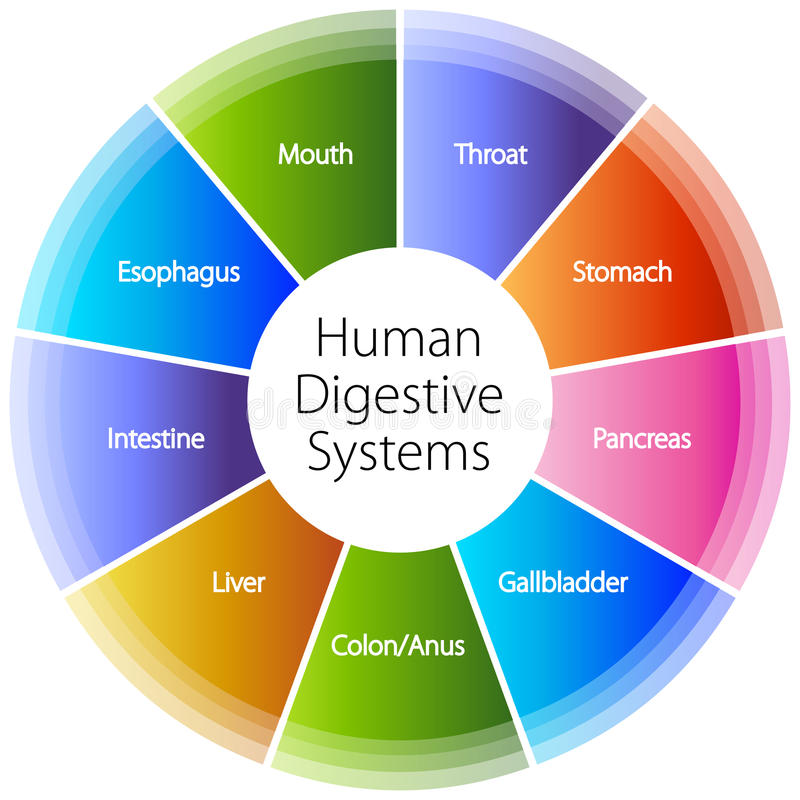 Sistemas digestivos humanos libre illustration