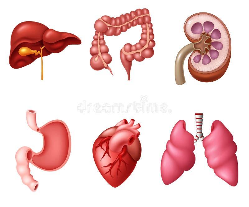 Sistemas Humanos Internos Del Sistema Digestivo Ilustración del ...