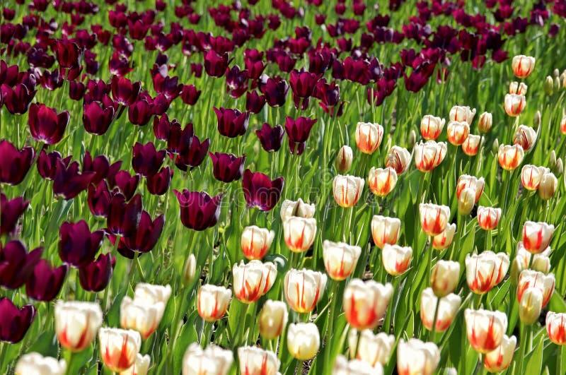 Sistemi con i tulipani porpora ed il bianco con i tulipani arancio del modello fotografie stock