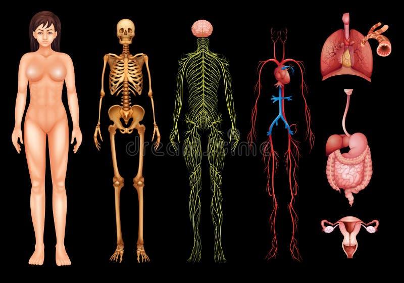 Sistemi del corpo umano royalty illustrazione gratis