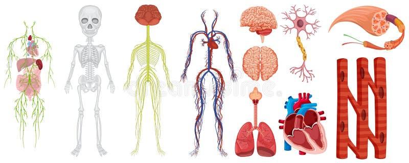Sistemi differenti nel corpo umano illustrazione di stock