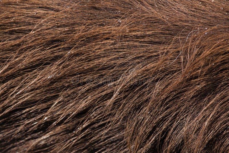 Sitatunga леса (gratus spekii Tragelaphus) безшовная текстура кожи tileable стоковое изображение rf