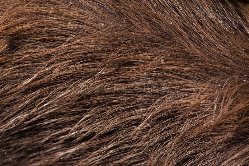 Sitatunga леса (gratus spekii Tragelaphus) безшовная текстура кожи tileable стоковая фотография
