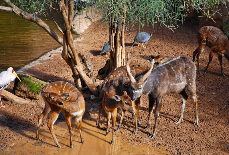 Download Sitatunga Antelope stock photo. Image of safari, environment - 12933132