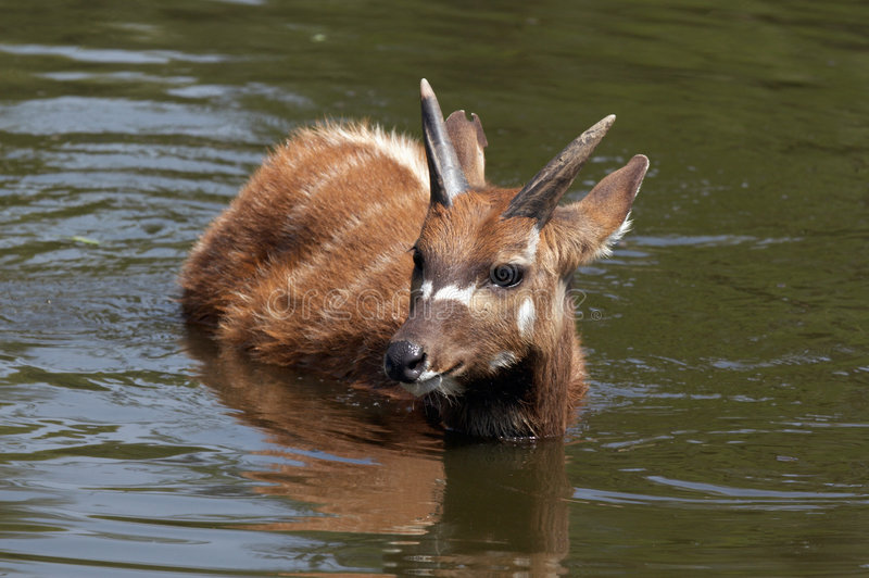 Sitatunga (swamp antelope) in the water stock photo
