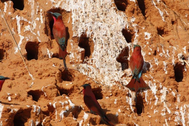 Site méridional de mangeur d'abeille de carmin photo libre de droits