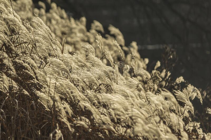 Reed inflorescences lit by the sun in the park. Dark background. For the site about parks, plants, travel, art stock photos