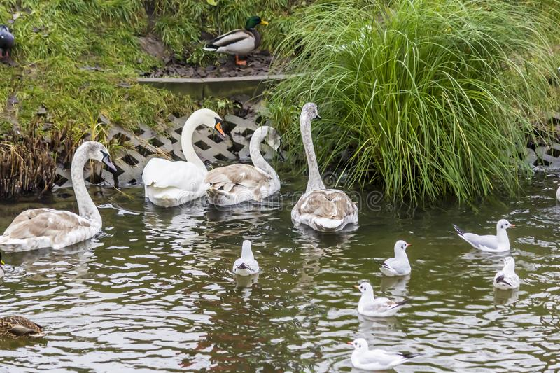 Family of swans, gulls and wild ducks on the shores of the urban lake. Site about wild birds, nature, urbanism, ecology stock photography