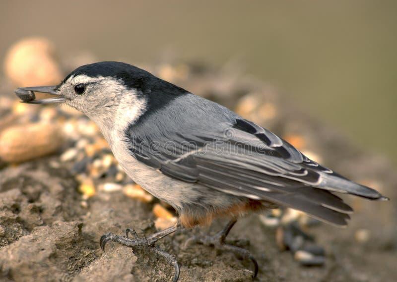 Sitelle avec la graine d'oiseau photos stock