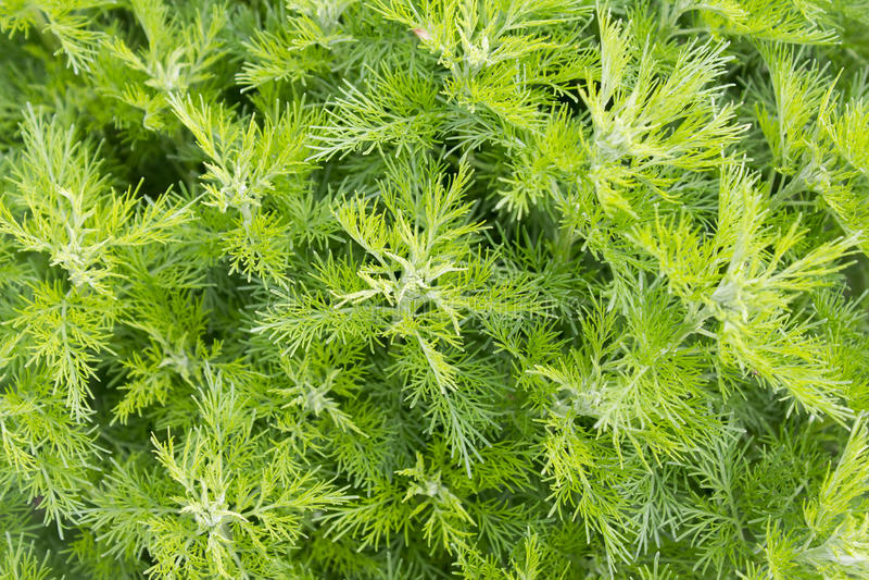 Sitherwood (艾属abrotanum) 图库摄影